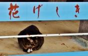 4. Kannon Hanajima - Hanami River - cat