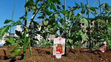 Mori Trust Garden TORA4 tomato garden
