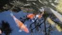 Senzoku Nagare stream koi orange carp