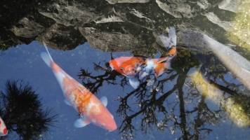 Senzoku Nagare stream koi orange carp