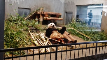 Ueno Park Zoo panda eating bamboo on back