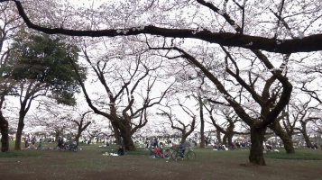 Koganei park bright cherry trees Tokyo