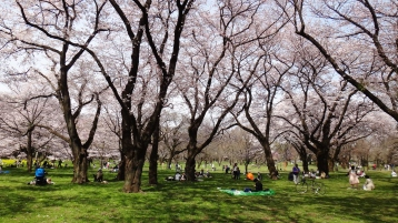 Koganei park sunshine cherry trees