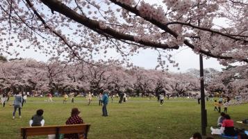 Koganei park Tokyo Kodaira cherry trees